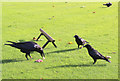 TQ3380 : Ravens and Crows Feeding at the Tower of London by Christine Matthews