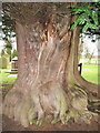 SJ8470 : Churchyard Yew by Peter Turner