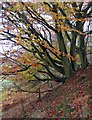 SE7196 : Hillside beech, Rosedale by Pauline E