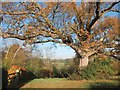 TQ8620 : Oak Tree by Starvecrow Lane : Week 46