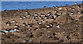 J3878 : Oystercatchers, Holywood by Albert Bridge