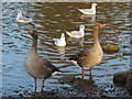 TQ6039 : Greylag geese at Dunorlan Park by Oast House Archive