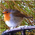 NH9184 : Robin in my garden by sylvia duckworth