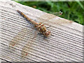 TQ5479 : Common Darter dragonfly, Sympetrum striolatum, Rainham Marshes by Stefan Czapski