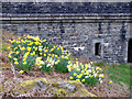 SN8968 : Daffodils beside Craig Goch Dam, Elan Valley, Mid-Wales by Christine Matthews