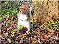 SJ7890 : Squirrel at Walton Park by David Dixon