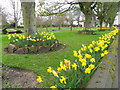 NO6107 : Daffodils in the park, Crail by Miss Steel