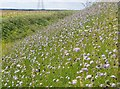 TL5864 : Wildflowers on Devil's Ditch, Burwell, Cambridgeshire by ethics girl