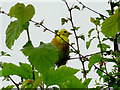 SN7553 : Yellowhammer on a hedge in Cwm Doethie Fawr, Ceredigion by Roger  Kidd