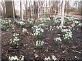 SJ7387 : Snowdrop time in the Winter Garden Dunham Massey by Peter Turner