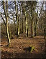 ST1008 : Woodland, Ponchydown by Derek Harper