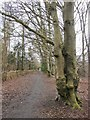 TQ1954 : Beech trees along the bridleway to Mickleham Gallops by Stefan Czapski