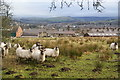 SJ9984 : Sheep above Newtown by Bill Boaden