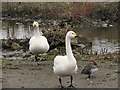 SO7104 : Bewick's Swans at Slimbridge by David Dixon