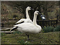 SO7104 : Trumpeter Swans at Slimbridge by David Dixon