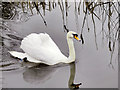 SD7908 : Mute Swan, Manchester, Bury and Bolton Canal by David Dixon
