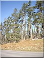 NJ6504 : Pines at the summit of the road over Learney Hill by Stanley Howe