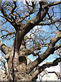 TQ3865 : Detail of oak, Woodland Way by Stephen Richards