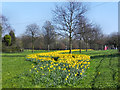SD6005 : Daffodils on the Green by David Dixon