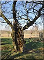 TQ2072 : Ancient field-maple, near Isabella Plantation, Richmond Park by Stefan Czapski