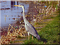 SD7908 : Grey Heron by David Dixon