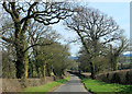 ST5865 : 2012 : Old oaks on Northwick Road by Maurice Pullin