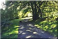 NX6769 : Beech trees on the driveway to Hensol House by Ann Cook