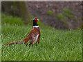 SD4800 : A pheasant by Ian Greig