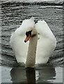 NY4012 : Mute swan, Brothers Water by Alexander P Kapp