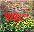 SE7170 : Tulip display by the old brick wall by Pauline Eccles