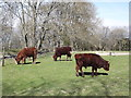 SU8916 : Red Sussex Cattle by Colin Smith