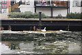 TQ3681 : Swan nesting on the Regent Canal by Nigel Chadwick
