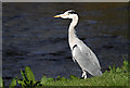 NY3684 : A grey heron by the Ewes Water by Walter Baxter