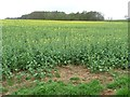 SE3843 : Oilseed rape crop, east of Spring Wood by Christine Johnstone
