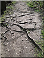 SK3189 : Roots of alder, Loxley Valley path by Robin Stott
