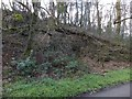 SX4168 : Rock strata in former quarry near Cotehele Mill by David Smith