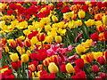 ST7734 : Tulip Blooms : Week 17