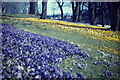 NJ9304 : Duthie Park, Crocuses by Colin Smith