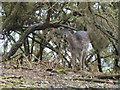 TF6628 : Wild deer in Wolferton, Norfolk by Richard Humphrey