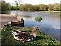 TQ7765 : Greylag Goose, Capstone Country Park by David Anstiss