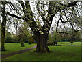 SK4833 : Grey poplar in West Park by David Lally