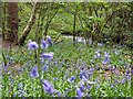 SK3076 : Bluebells in Smeekley Wood by Graham Hogg