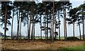 TM3956 : Pines at edge of Tunstall Forest, Suffolk by nick macneill