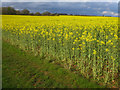 SU5850 : Oilseed rape - Roundgrove (36.5 acres) by Sebastian Ballard