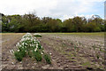 TF6633 : Narcissi, Paper Hall Farm, Snettisham, Norfolk by Christine Matthews