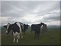 SD5892 : Cattle on top of Millrigg Moor (334m) by Karl and Ali
