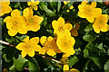 NJ1642 : Marsh Marigold (Caltha palustris) by Anne Burgess