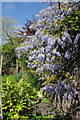 SJ8490 : Old Parsonage Gardens - Wisteria wall by Peter Turner