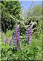 SP0886 : Lupins by the River Rea by David P Howard