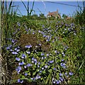 NU0129 : Germander speedwell (Veronica chamaedrys), Weetwood Hill by Andrew Curtis